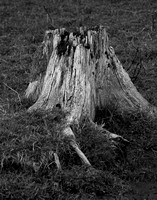 Stump in Black & White